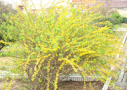 迎春花盆景图片欣赏