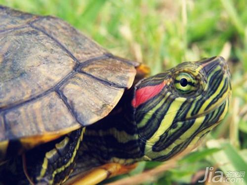 设计图 巴西龟 方法/而具体的性别辨别方法为:...