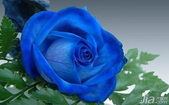 蓝色妖姬的花语是什么 蓝色妖姬价格_家居知识