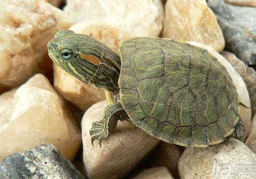 怎样辨别乌龟的种类 乌龟的种类及图片欣赏