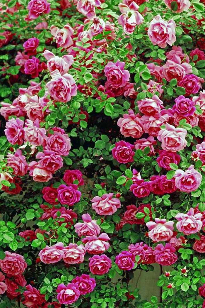 蔷薇与玫瑰的区别