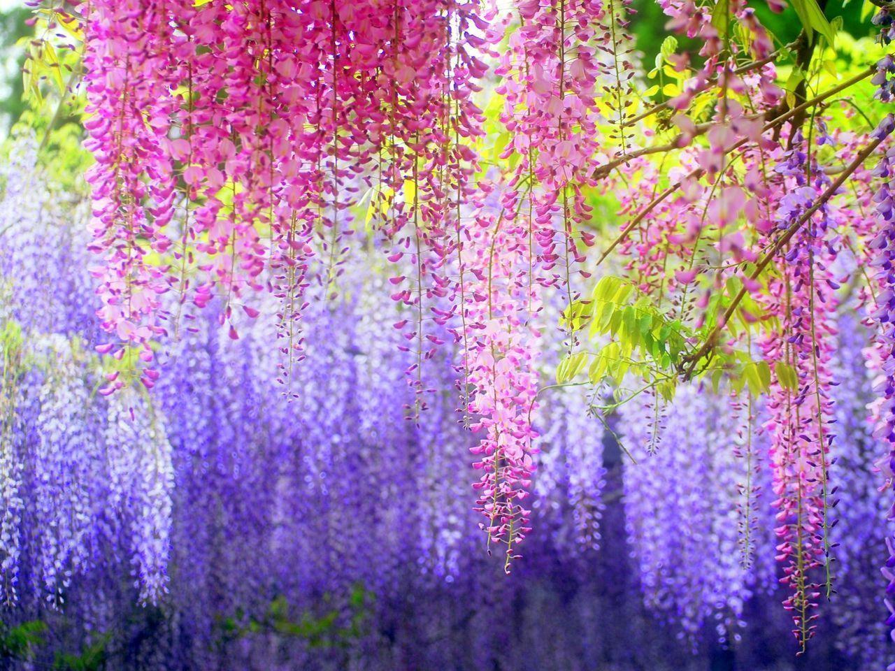 紫藤花的作用与功效
