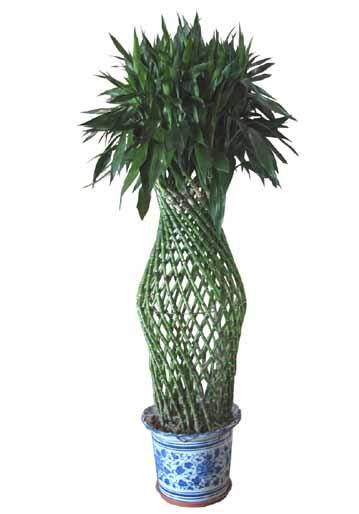 齐家百科 生活百科 植物 富贵竹笼  富贵竹笼又称之为叶仙龙血树,万年