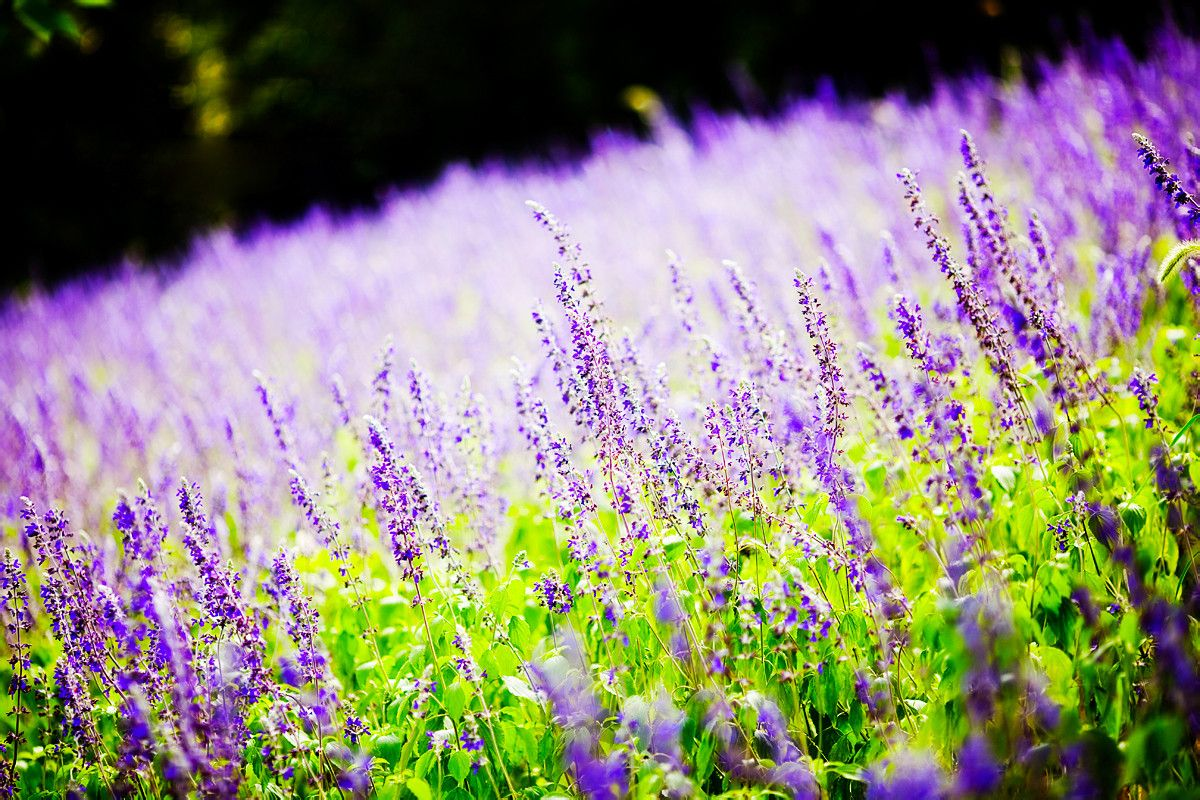 薰衣草的养殖方法 薰衣草的注意事项 薰衣草的作用和功效 薰衣草精油使用方法 齐家网