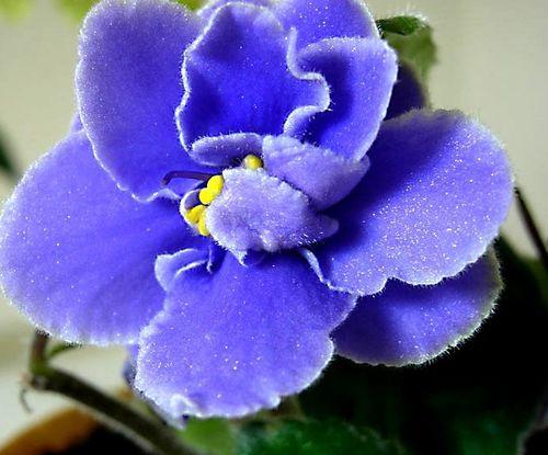 如何繁殖紫罗兰 园丁支招三种方法