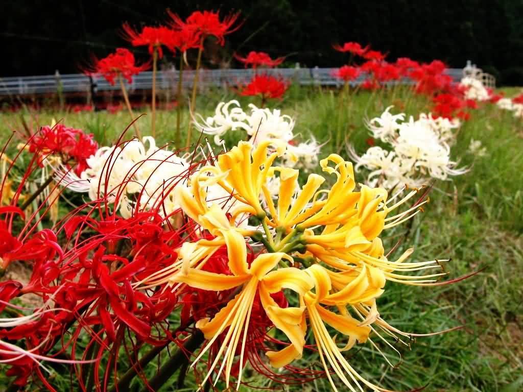 彼岸花的花语 谁赋予了曼珠沙华这样残忍的花语