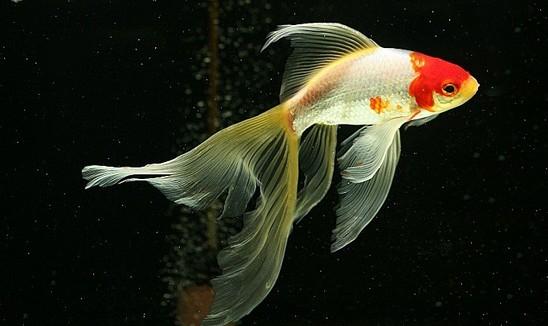 草金鱼怎么养 草金鱼吃什么 新手必看的经验大全
