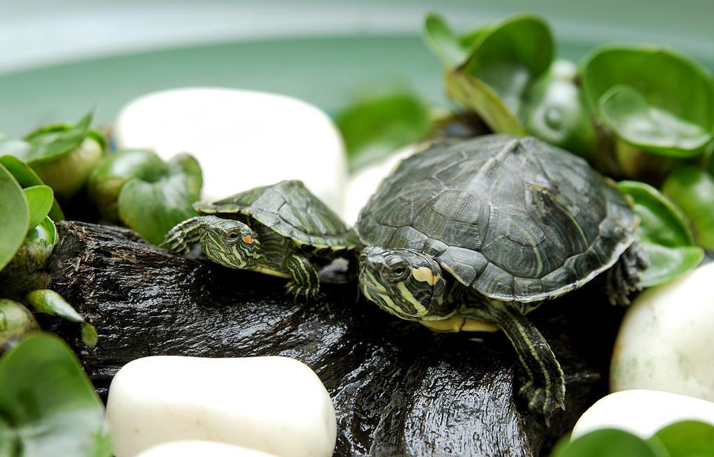 巴西龟/不少人喜欢饲养乌龟,尤其是有老人家的家庭,毕竟龟寿千年,这...