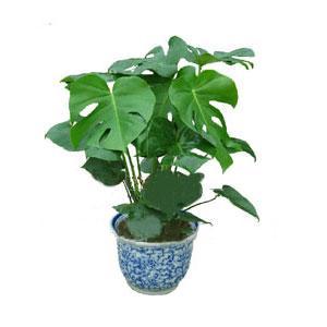 龟背竹繁殖与栽培