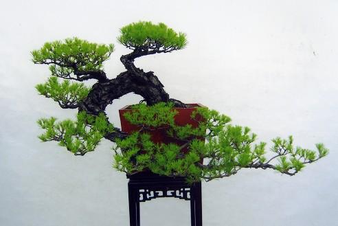 形态特征  常绿乔木,高达45m,胸径1m,树冠在壮年期狭圆锥形,老年期