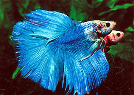 泰国斗鱼寿命