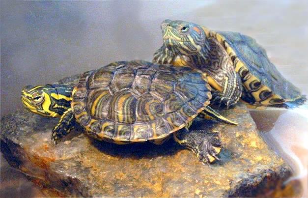 巴西紅耳龜