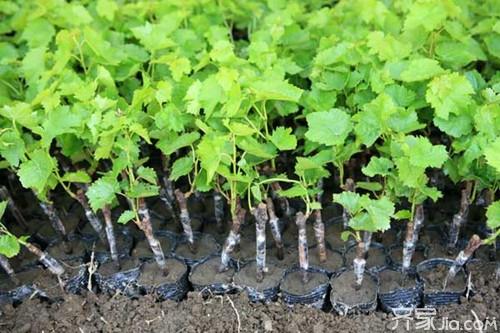 葡萄苗指的是葡萄的幼苗状态,葡萄一般分为扦插苗和嫁接苗,扦插苗指
