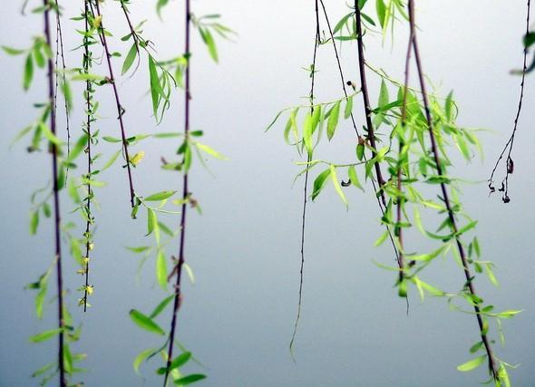 柳树枝叶简笔画图片
