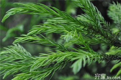 柏树叶的功效与作用 柏树叶的药材鉴定图片