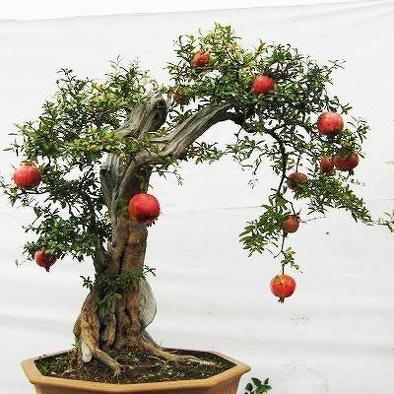 果树盆景嫁接