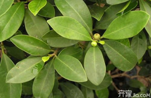 小叶榕入药主用其叶foliumficimicrocarpae,有研究表明小叶榕叶中图片