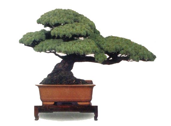 黄杨树的养殖方法,大叶黄杨的形态特征,珍珠黄杨是
