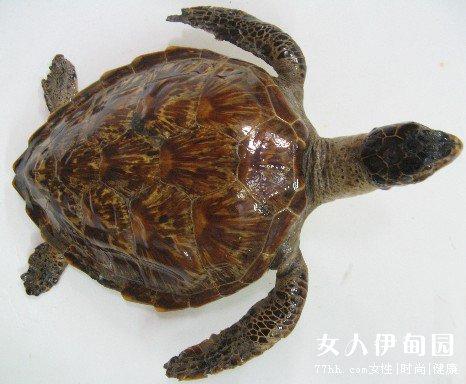 玳瑁是生活在海洋的,它们以鱼,软体动物和海藻为食.