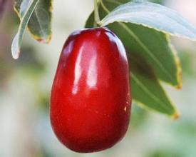 新疆红枣种植方法