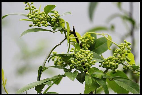 花椒树根的作用_野花椒根 - www.38sp.com