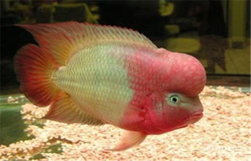 金花罗汉鱼一般多少钱可以买到 金花罗汉鱼多大起头
