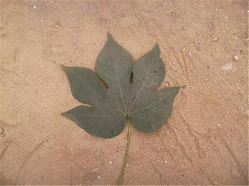 梧桐树的叶子像什么 梧桐树怎么分辨