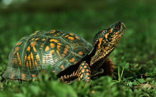 秘籍的吃食乌龟饲养攻略分享物长得快即墨乌龟v秘籍自驾图片