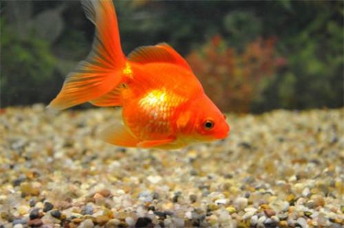 今天小编就和大家来说说吧,希望大家的金鱼都活泼可爱.
