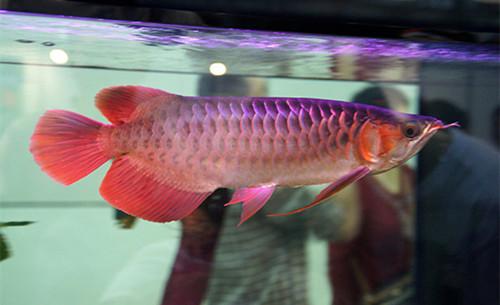 金龙鱼多少钱一条_金龙鱼多少钱一条-_补肾参考网