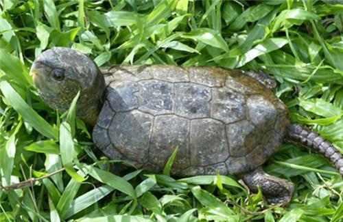 鹰嘴龟价格报价 淡水龟养殖技巧大归纳
