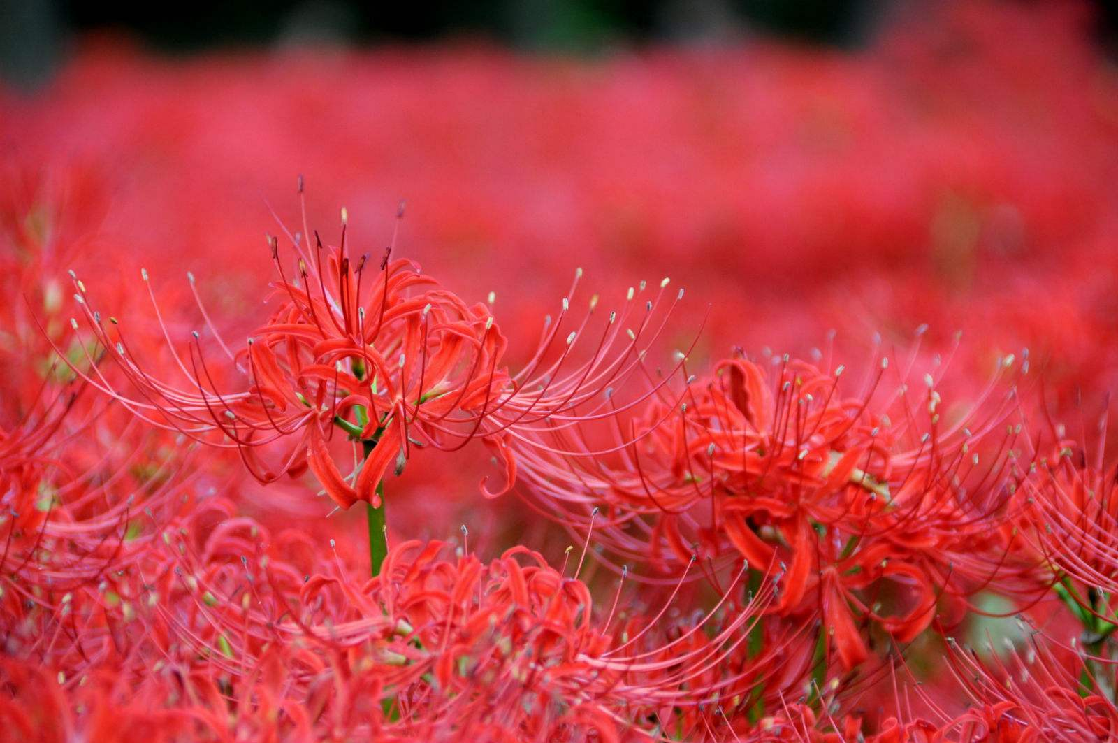 彼岸花传说的由来 彼岸花花语是什么