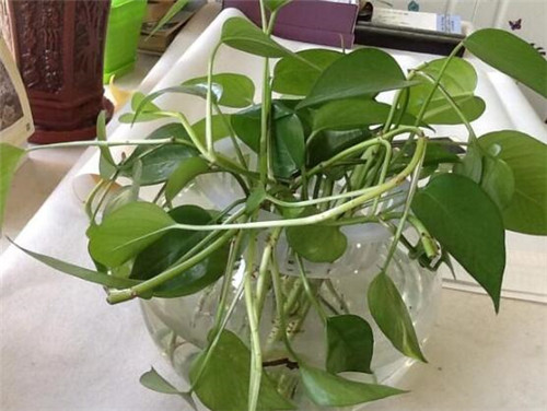 新房除甲醛的最好植物推荐 聪明人都养这几种植物