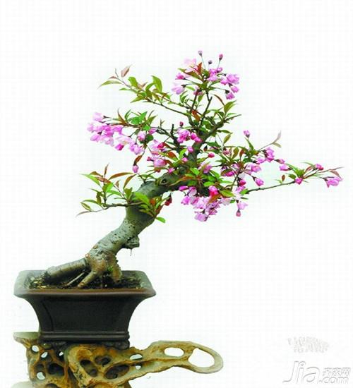垂丝海棠的特点是什么图片